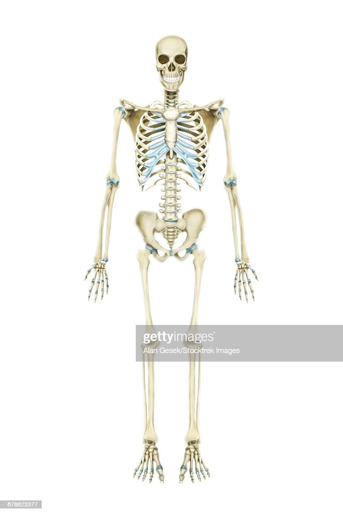 Anterior View Of Human Skeletal System Stock Illustration | Getty Images