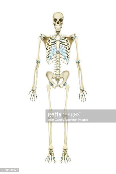 Anterior view of human skeletal system.