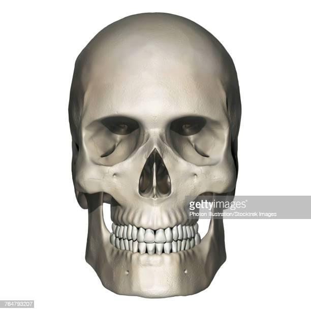 Anterior view of human skull anatomy.