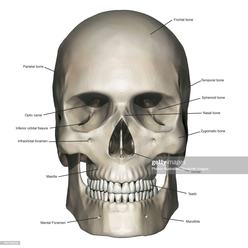 Anterior View Of Human Skull Anatomy With Annotations Stock