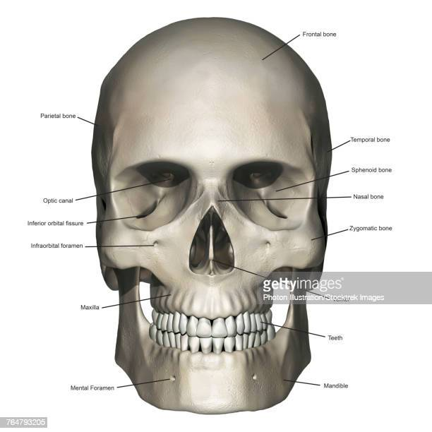 Zygomatic Bone Stock Illustrations And Cartoons Getty Images
