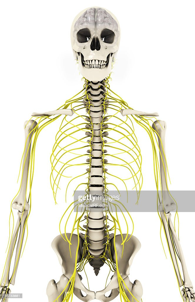 Anterior View Of The Cns Within A Skeletal Torso Stock Illustration