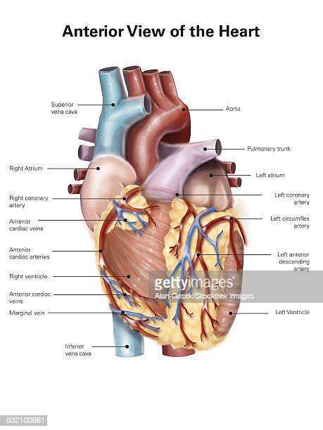 anterior view of the human heart. - myocardium stock illustrations, clip art, cartoons, & icons