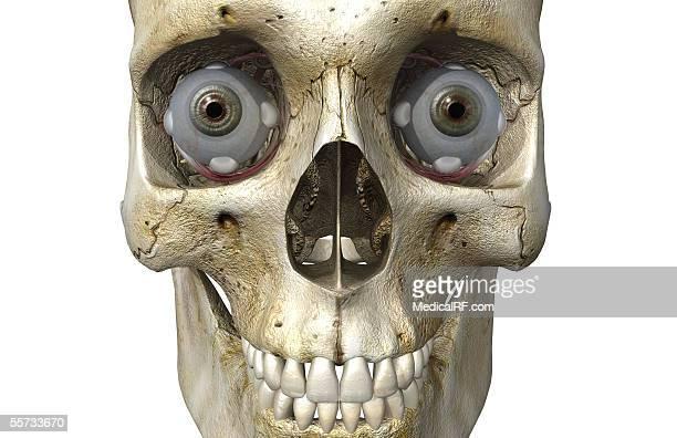 Anterior view of the human skull containing both eyeballs.