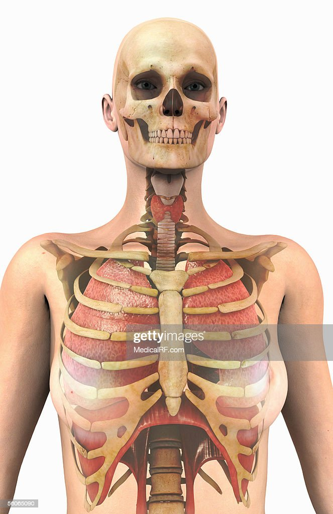 Anterior View Of The Lungs And Ribcage In A Transparent Female Torso