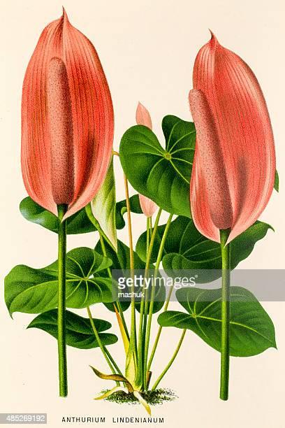 Anturio planta, 19 siglo litho