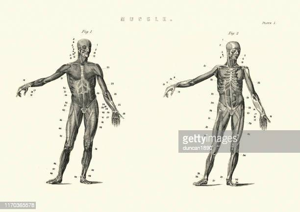antique anatomical diagram, muscles of the human body, 19th century - the human body stock illustrations