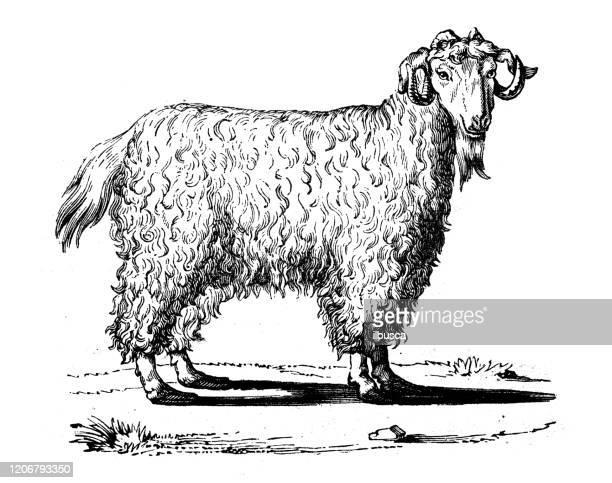Angora Sheep Images, Stock Photos & Vectors   Shutterstock