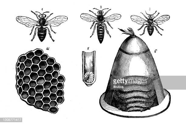 antique animal illustration: bees - queen bee stock illustrations