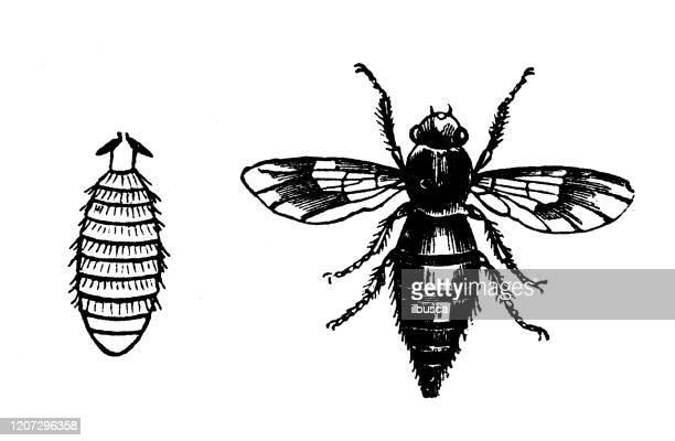 antique animal illustration: botfly - bot fly stock illustrations