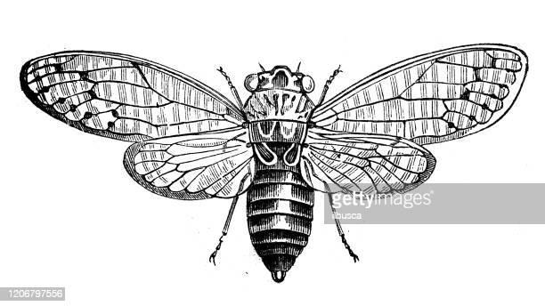 illustrations, cliparts, dessins animés et icônes de illustration animale antique : cicada - cigale