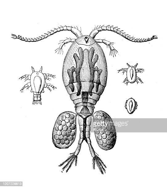 illustrations, cliparts, dessins animés et icônes de illustration antique d'animal : femelle de cyclope avec des oeufs - cyclope