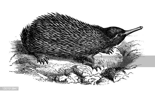 antique animal illustration: echidna, spiny anteater - anteater stock illustrations