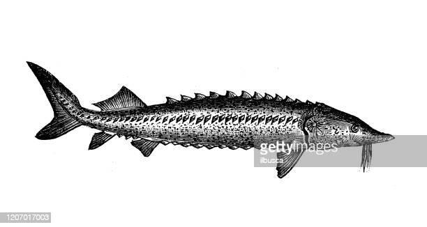 antique animal illustration: european sea sturgeon (acipenser sturio) - sturgeon fish stock illustrations