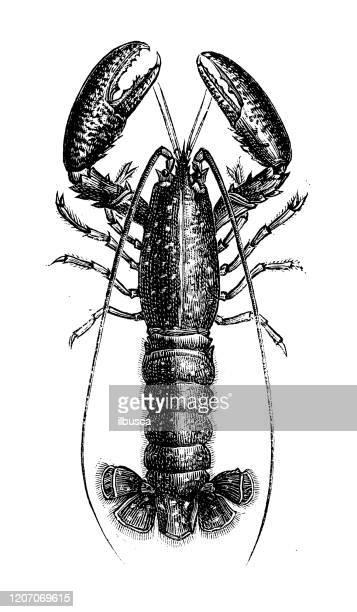 illustrations, cliparts, dessins animés et icônes de illustration animale antique : homard - homard