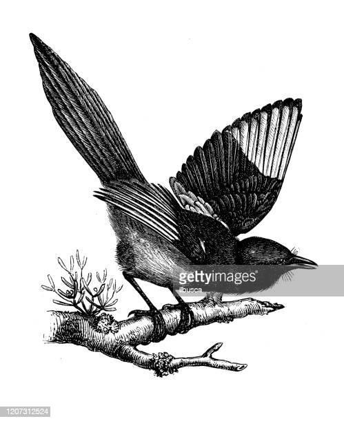 antique animal illustration: magpie - magpie stock illustrations