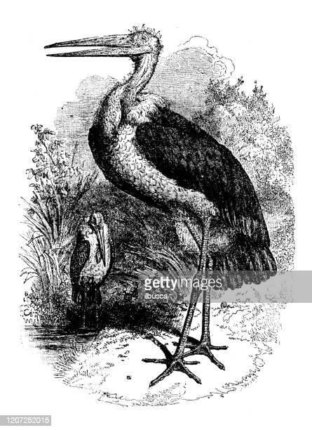 illustrations, cliparts, dessins animés et icônes de illustration animale antique : cigogne de marabou (leptoptilos crumenifer) - marabout