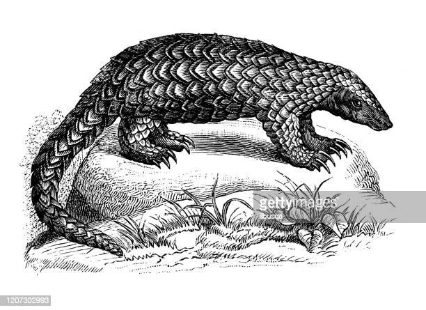 illustrations, cliparts, dessins animés et icônes de illustration animale antique : pangolin - pangolin