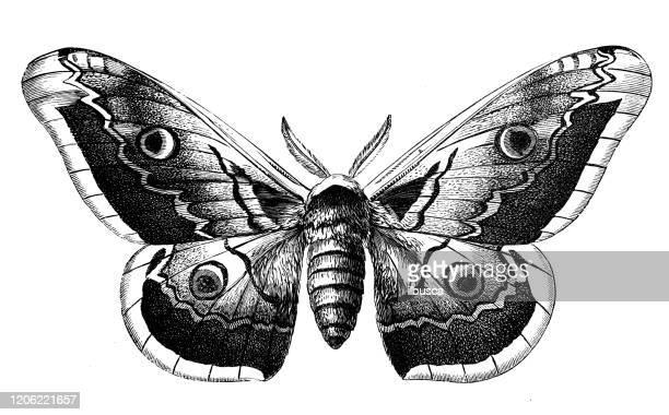 illustrations, cliparts, dessins animés et icônes de illustration animale antique : saturnia pyri, papillon géant de paon, grand papillon de paon, papillon de nuit d'empereur géant - papillon de nuit