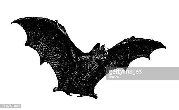 antique animal illustration: vampire bat - vampire stock illustrations