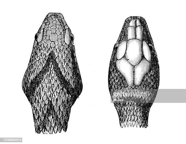アンティーク動物のイラスト:バイパーと草のヘビ - ヨーロッパヤマカガシ点のイラスト素材/クリップアート素材/マンガ素材/アイコン素材