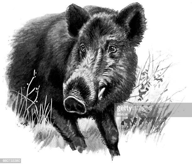 Antigua ilustración de animales: jabalí
