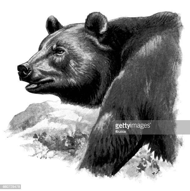 ilustraciones, imágenes clip art, dibujos animados e iconos de stock de antigua ilustración de animales: oso pardo - oso pardo