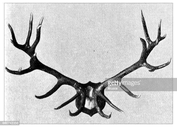 antique animals illustration: deer antlers - classical style stock illustrations, clip art, cartoons, & icons