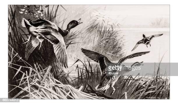 antique animals illustration: ducks - duck bird stock illustrations, clip art, cartoons, & icons