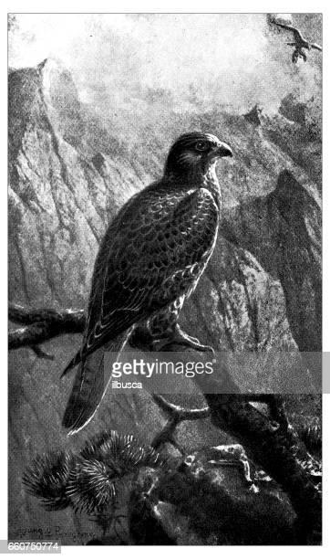 antique animals illustration: female peregrine falcon - peregrine falcon stock illustrations, clip art, cartoons, & icons