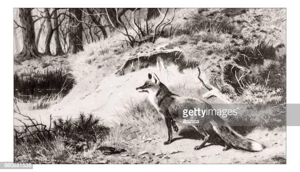 Antique animals illustration: Fox
