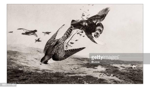 antique animals illustration: grouse hawking - falcon bird stock illustrations, clip art, cartoons, & icons