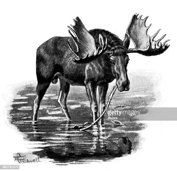 antique animals illustration: moose - elk stock illustrations
