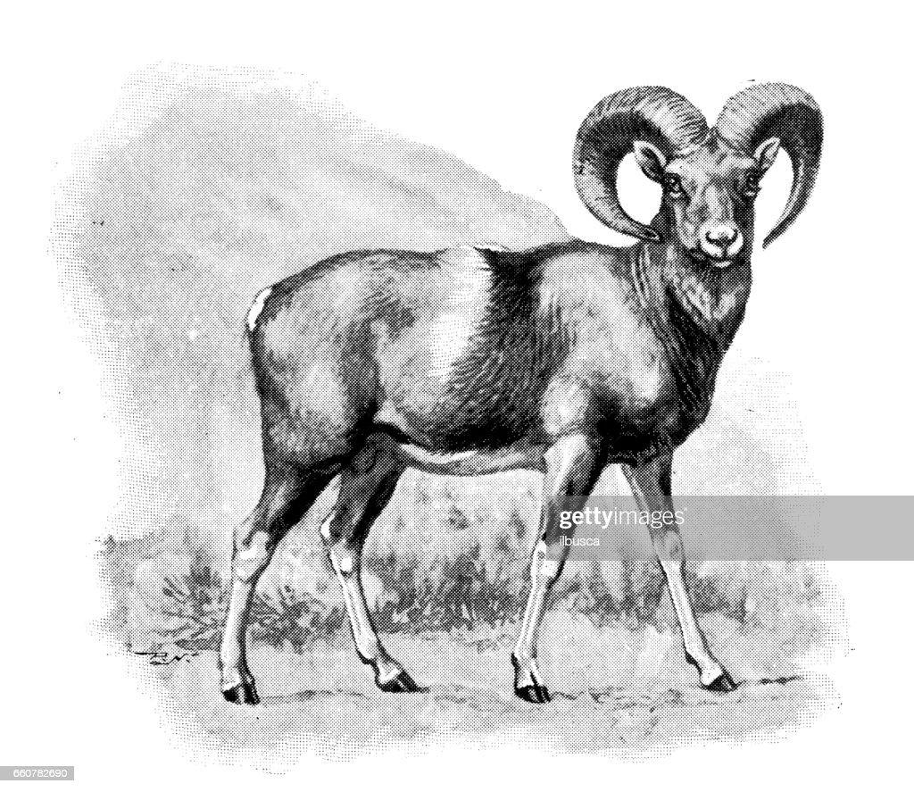 Antique animals illustration: Moufflon : stock illustration