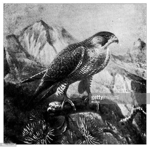 antique animals illustration: peregrine falcon - peregrine falcon stock illustrations, clip art, cartoons, & icons