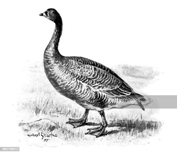 Antique animals illustration: Pink footed goose