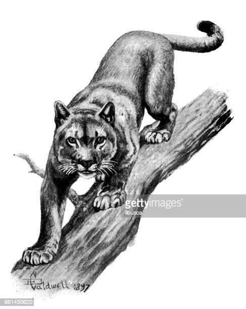 ilustraciones, imágenes clip art, dibujos animados e iconos de stock de antigua ilustración de animales: puma - puma