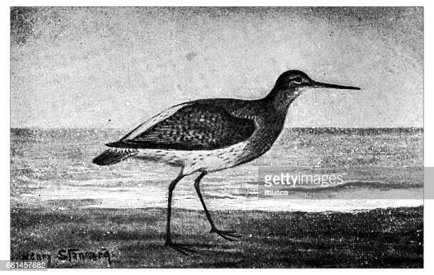 antique animals illustration: redshank - shank stock illustrations, clip art, cartoons, & icons