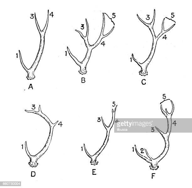 Antique animals illustration: Types of antlers