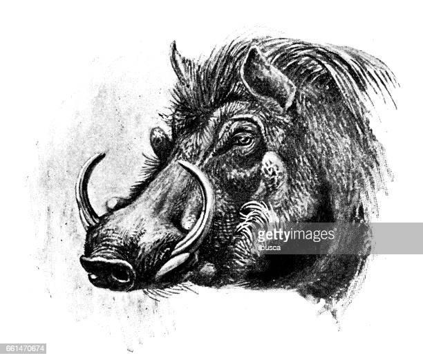 Antigua ilustración de animales: hog verruga