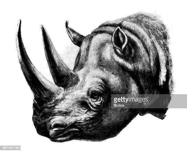 Antique animals illustration: White Rhinoceros