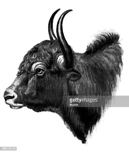 antique animals illustration: yak - european bison stock illustrations, clip art, cartoons, & icons