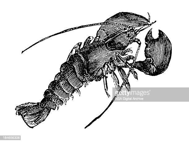 Antique, black ink illustration of a crawfish