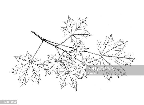antique botany illustration: acer platanoides, norway maple - maple tree stock illustrations
