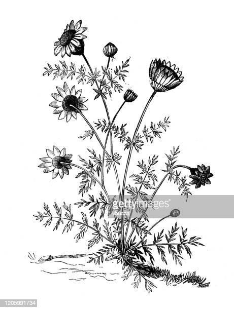 ilustraciones, imágenes clip art, dibujos animados e iconos de stock de ilustración de botánica antigua: anthemis, manzanilla - planta de manzanilla