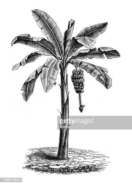 antique botany illustration: banana tree - banana tree stock illustrations