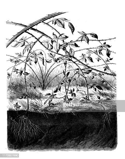 bildbanksillustrationer, clip art samt tecknat material och ikoner med antik botanik illustration: bramble - taggig buske