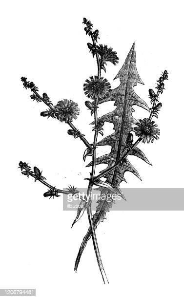 ilustrações, clipart, desenhos animados e ícones de ilustração antiga de botânica: chicória, intybus cichorium - endive