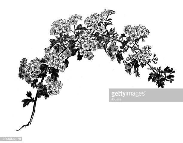 antique botany illustration: crataegus, hawthorn, quickthorn, thornapple, may-tree, whitethorn, hawberry - hawthorn,_victoria stock illustrations