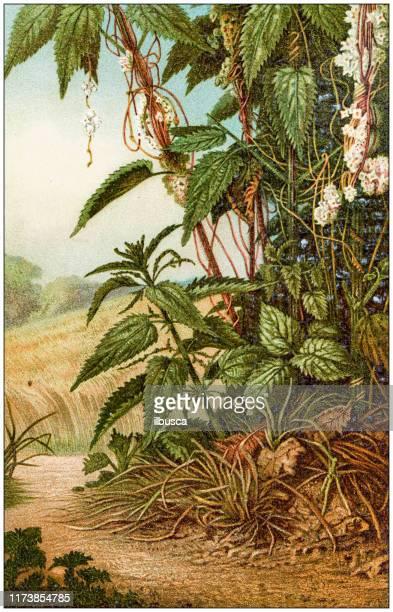 アンティーク植物学のイラスト:スキュクタ・エウロパエア(より大きなドッダー)の刺すネット - イラクサ点のイラスト素材/クリップアート素材/マンガ素材/アイコン素材